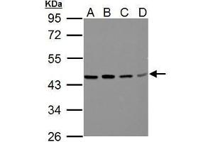 Image no. 3 for anti-Branched Chain Amino-Acid Transaminase 2, Mitochondrial (BCAT2) (Center) antibody (ABIN2855776)