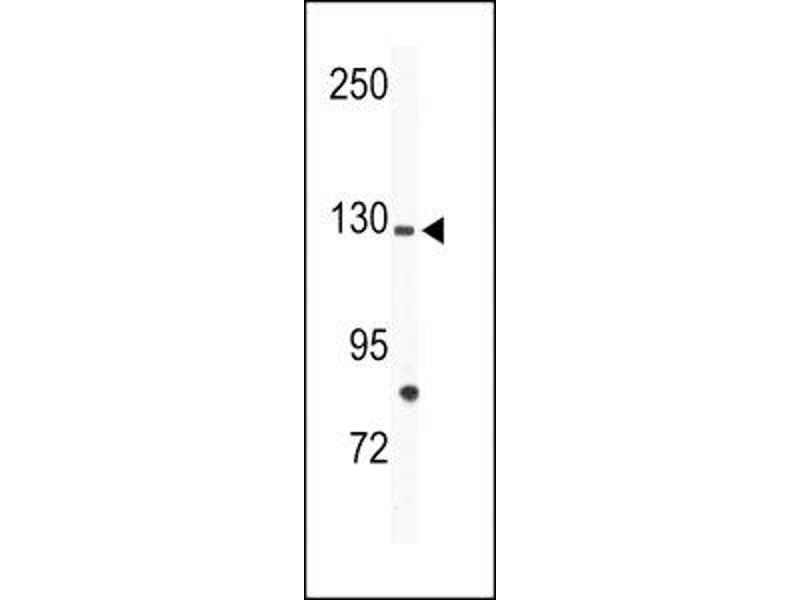 Western Blotting (WB) image for anti-TIE1 antibody (tyrosine Kinase with Immunoglobulin-Like and EGF-Like Domains 1) (AA 12-42) (ABIN3029410)