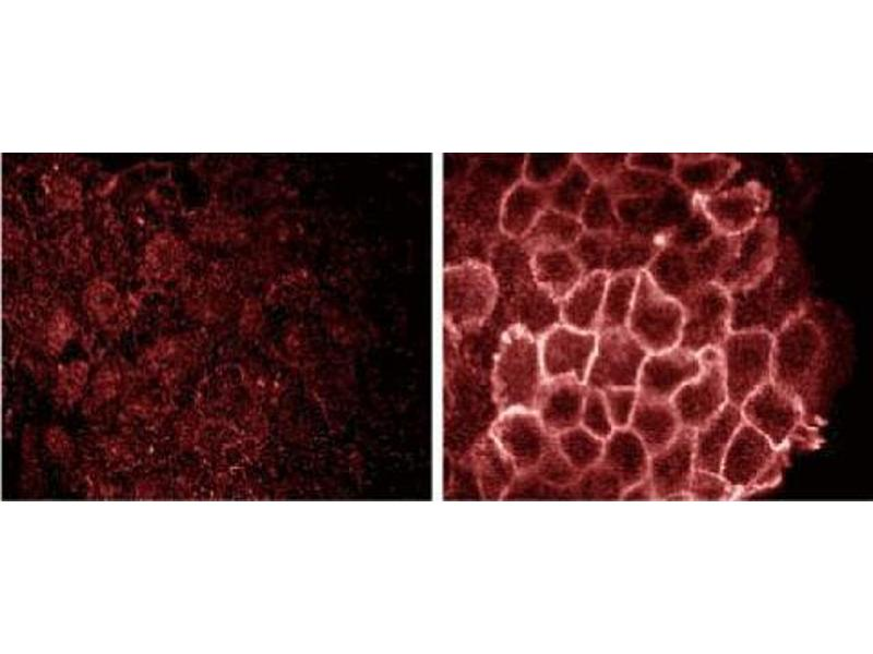 image for anti-Phosphotyrosine antibody (ABIN967692)