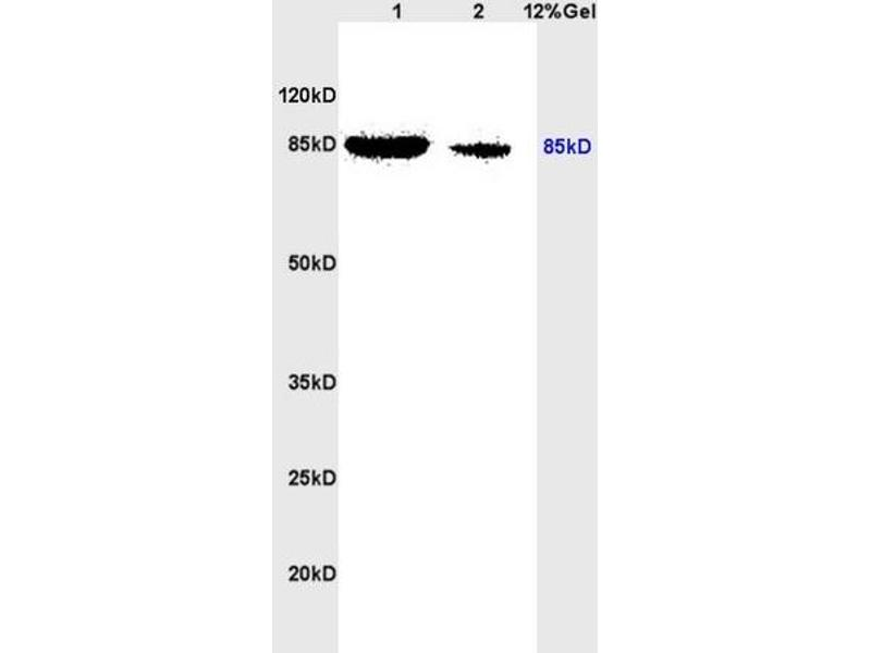SDS-PAGE (SDS) image for anti-STAT3 antibody (Signal Transducer and Activator of Transcription 3 (Acute-Phase Response Factor)) (AA 710-740) (ABIN746198)