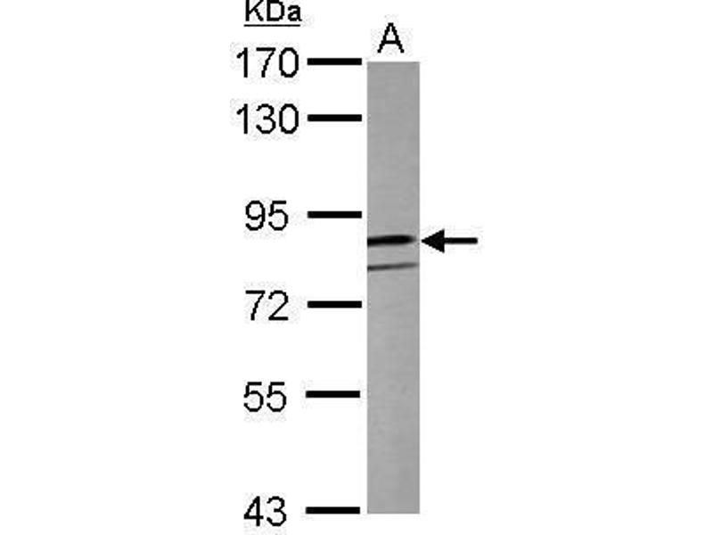 Image no. 1 for anti-Clock Homolog (Mouse) (CLOCK) (C-Term) antibody (ABIN2855356)
