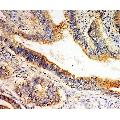 anti-Solute Carrier Family 1 (Glutamate/Neutral Amino Acid Transporter), Member 4 (SLC1A4) (C-Term) antibody