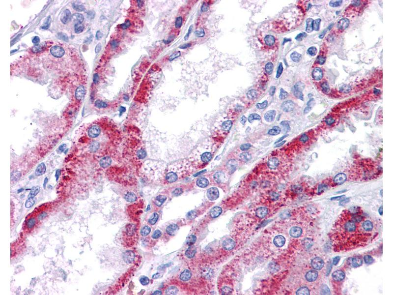 Immunohistochemistry (IHC) image for anti-Potassium Voltage-Gated Channel, KQT-Like Subfamily, Member 1 (KCNQ1) (AA 181-230) antibody (ABIN604662)