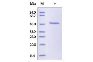 SDS-PAGE (SDS) image for Maltose Binding Protein (MBP) (AA 27-396) (Active) 蛋白 (ABIN2181500)