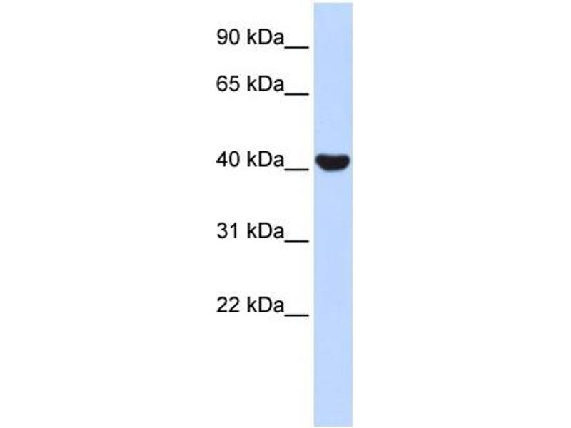 Western Blotting (WB) image for anti-Nuclear Receptor Subfamily 2, Group E, Member 1 (NR2E1) (N-Term) antibody (ABIN2779454)