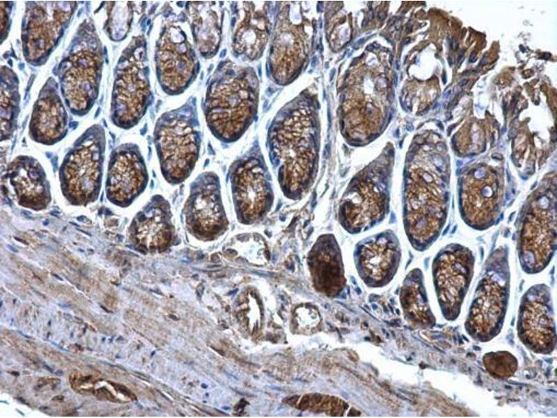 Image no. 4 for anti-CD2-Associated Protein (Cd2ap) (Center) antibody (ABIN2856284)