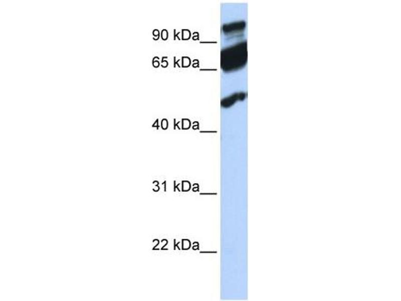 Western Blotting (WB) image for anti-Era G-Protein-Like 1 (E. Coli) (ERAL1) (Middle Region) antibody (ABIN2778947)