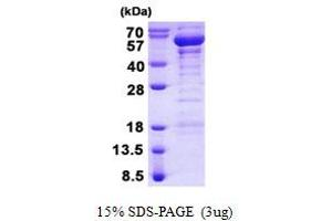 Image no. 1 for TRAF Family Member-Associated NFKB Activator (TANK) protein (His tag) (ABIN1098532)