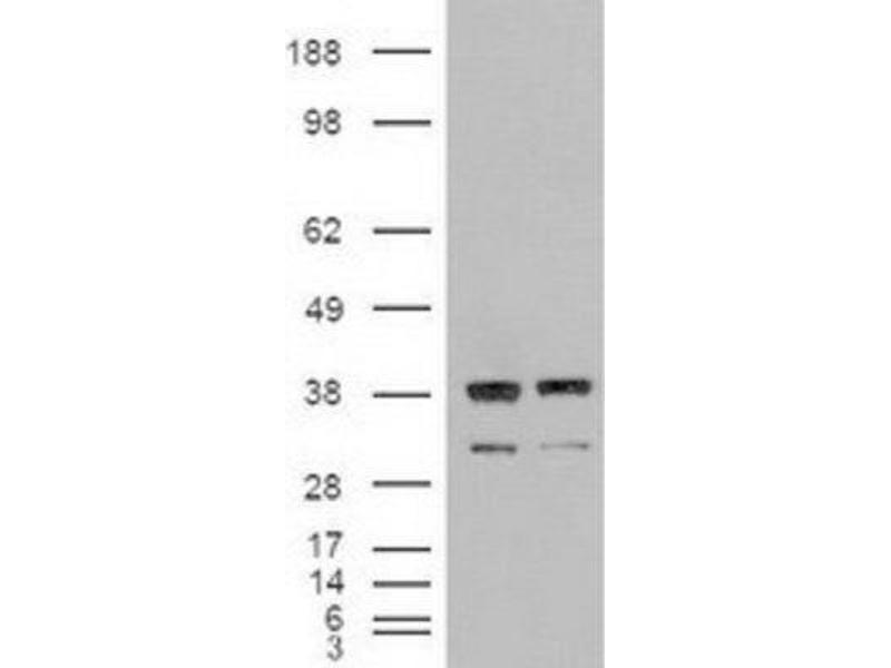 Western Blotting (WB) image for anti-Neurotrophin 3 (NTF3) (Transcript Variant 1) antibody (ABIN4338892)