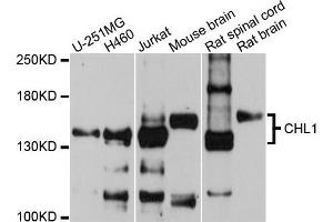 Western Blotting (WB) image for anti-Cell Adhesion Molecule with Homology To L1CAM (Close Homolog of L1) (CHL1) antibody (ABIN4903272)
