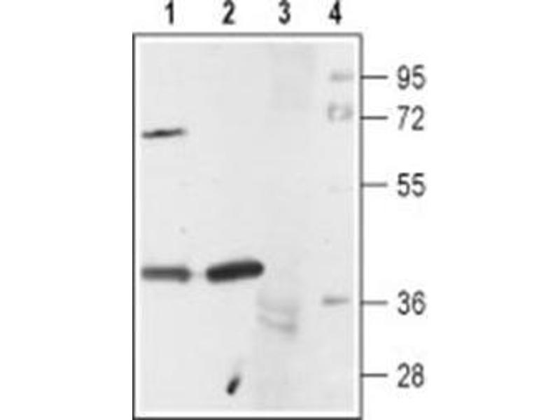 Image no. 1 for anti-5-Hydroxytryptamine (5-HT) (AA 251-266) antibody (ABIN3170511)
