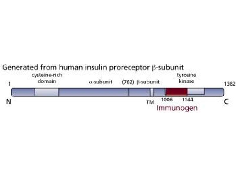 Image no. 3 for anti-Insulin Receptor antibody (INSR) (AA 1006-1144) (ABIN967753)