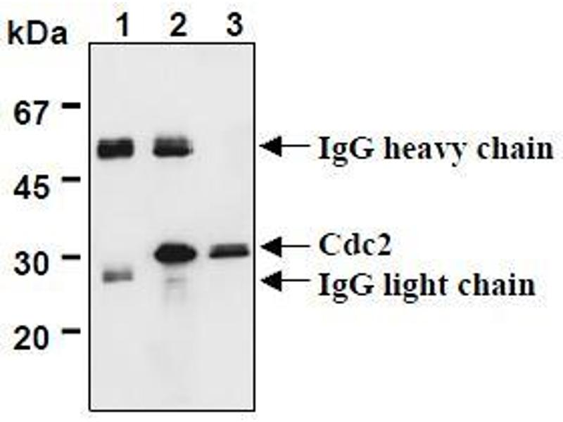 Western Blotting (WB) image for anti-CDK1 antibody (Cyclin-Dependent Kinase 1) (AA 30-57) (ABIN1449303)
