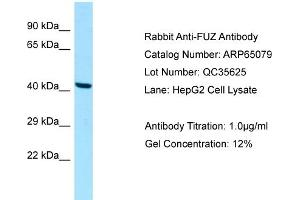 Image no. 1 for anti-Fuzzy Homolog (Drosophila) (FUZ) (C-Term) antibody (ABIN2790035)