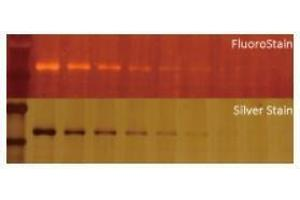 Staining Methods (StM) image for FluoroStain™ Protein Fluorescent Staining Dye (Red, 1,000X) (ABIN5662586)