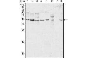 Image no. 1 for anti-Mitogen-Activated Protein Kinase 1 (MAPK1) antibody (ABIN1576355)