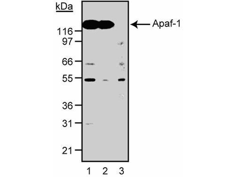 Western Blotting (WB) image for anti-Apoptotic Peptidase Activating Factor 1 (APAF1) (AA 12-28) antibody (ABIN967648)