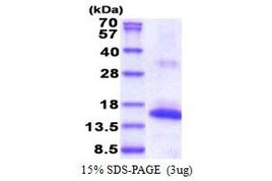 Image no. 1 for Natural Cytotoxicity Triggering Receptor 3 (NCR3) (AA 19-138) protein (His tag) (ABIN5853576)