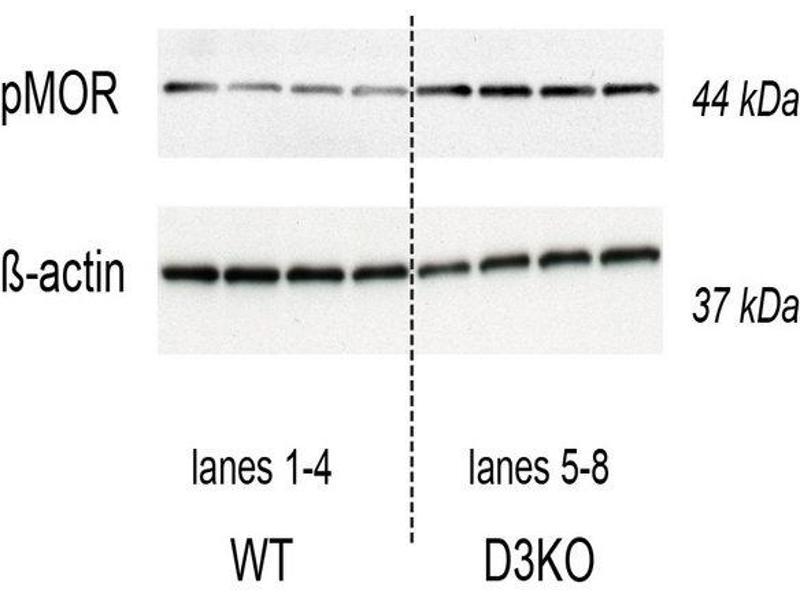Western Blotting (WB) image for anti-Opioid Receptor, mu 1 (OPRM1) (AA 350-398), (pSer375) antibody (ABIN703210)