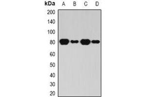 Image no. 1 for anti-BRCA1 Associated Protein-1 (Ubiquitin Carboxy-terminal Hydrolase) (BAP1) (full length) antibody (ABIN6043218)