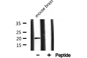 Western Blotting (WB) image for anti-PRA1 Domain Family, Member 2 (PRAF2) antibody (ABIN6262707)