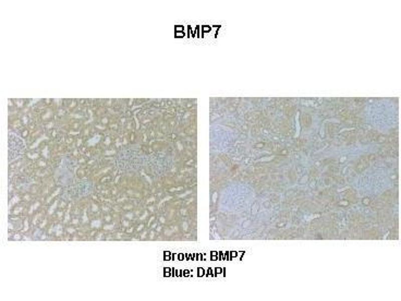 Immunohistochemistry (IHC) image for anti-Bone Morphogenetic Protein 7 (BMP7) (N-Term) antibody (ABIN2779568)