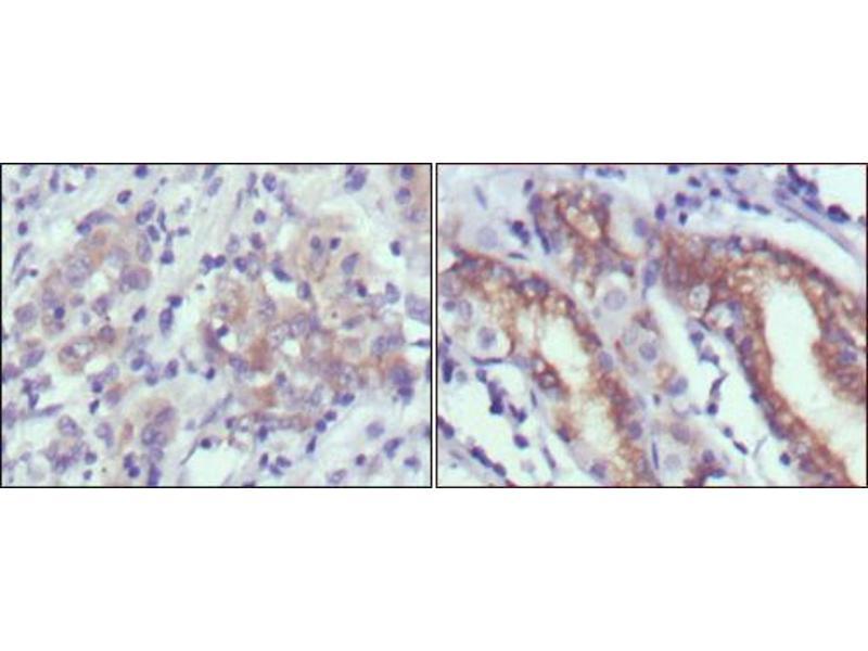 Immunohistochemistry (IHC) image for anti-Cerberus 1 Homolog (Xenopus Laevis) (CER1) antibody (ABIN969050)