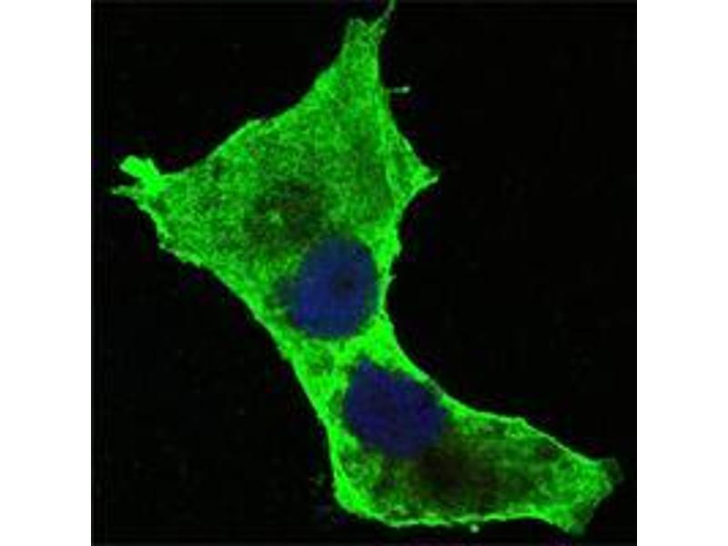 Immunocytochemistry (ICC) image for anti-Death-Domain Associated Protein (DAXX) antibody (ABIN969493)