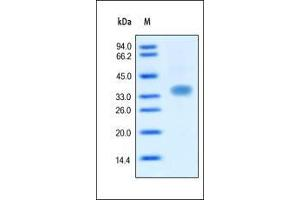 SDS-PAGE (SDS) image for Oncostatin M (OSM) (AA 26-252) protein (ABIN2181568)