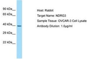 Image no. 1 for anti-NDRG Family Member 3 (NDRG3) (C-Term) antibody (ABIN6750001)