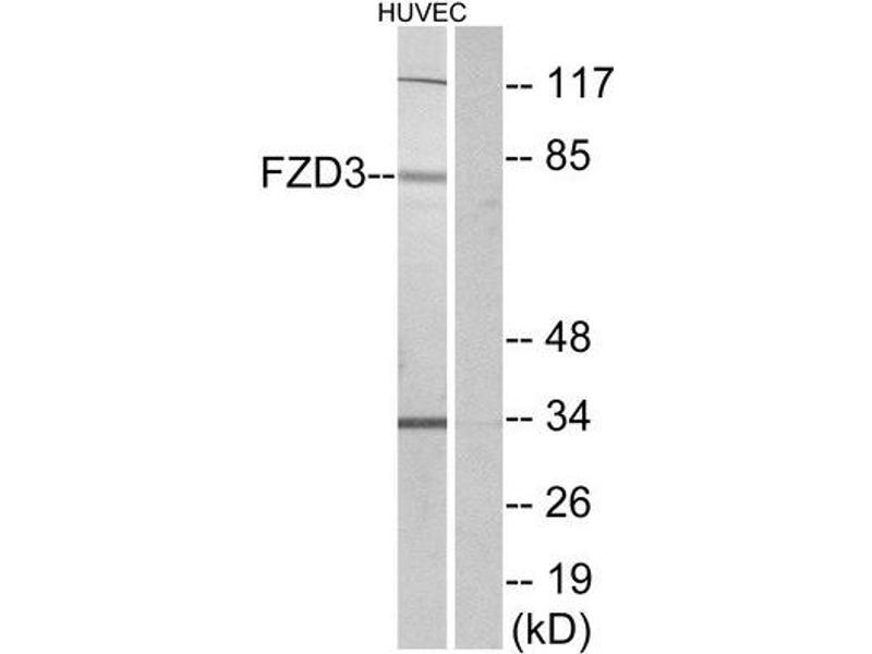 Western Blotting (WB) image for anti-FZD3 antibody (Frizzled Family Receptor 3) (Internal Region) (ABIN1852950)
