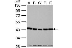 Image no. 5 for anti-Aurora Kinase A (AURKA) (C-Term) antibody (ABIN2855868)