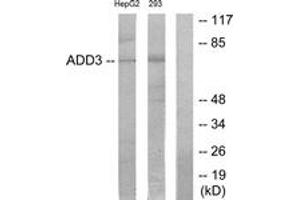 Image no. 1 for anti-Adducin 3 (Gamma) (ADD3) (AA 431-480) antibody (ABIN1534259)