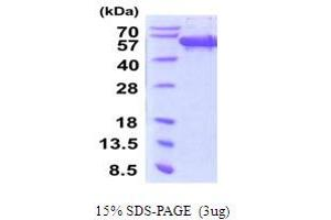 Image no. 1 for Secernin 1 (SCRN1) (AA 1-414) protein (His tag) (ABIN5854246)