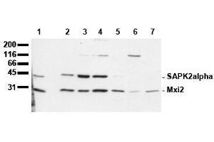 Western Blotting (WB) image for anti-MAPK14 antibody (Mitogen-Activated Protein Kinase 14) (N-Term) (ABIN126843)
