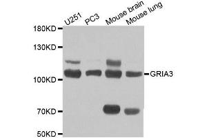 Western Blotting (WB) image for anti-Glutamate Receptor, Ionotrophic, AMPA 3 (GRIA3) antibody (ABIN2403988)