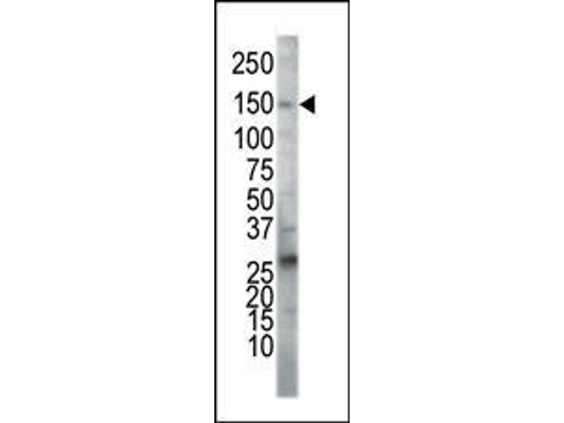 Western Blotting (WB) image for anti-VEGFR2 antibody (Kinase insert Domain Receptor (A Type III Receptor tyrosine Kinase)) (AA 1326-1356) (ABIN391979)