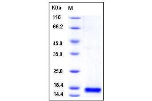 Image no. 1 for Phospholipase A2, Group IIE (PLA2G2E) (AA 1-142) protein (His tag) (ABIN2216000)
