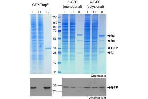 Image no. 1 for GFP VHH, recombinant binding protein (GFP-Trap) (ABIN509407)
