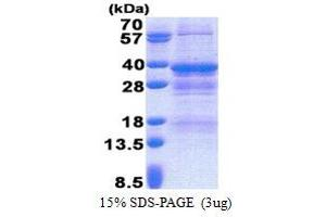 Image no. 1 for Nuclear Receptor Binding Factor 2 (NRBF2) (AA 45-287) protein (His tag) (ABIN6387285)