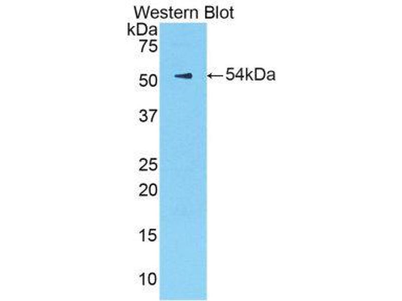 Western Blotting (WB) image for anti-Kallikrein 6 (KLK6) (AA 19-261) antibody (ABIN1859555)