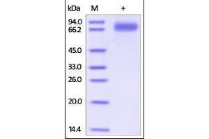 Image no. 1 for Signal-Regulatory Protein gamma (SIRPG) (AA 29-364) protein (Fc Tag) (ABIN2181773)