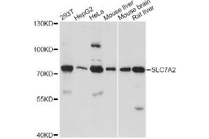 Image no. 1 for anti-Solute Carrier Family 7 (Cationic Amino Acid Transporter, Y+ System), Member 2 (SLC7A2) antibody (ABIN6568400)