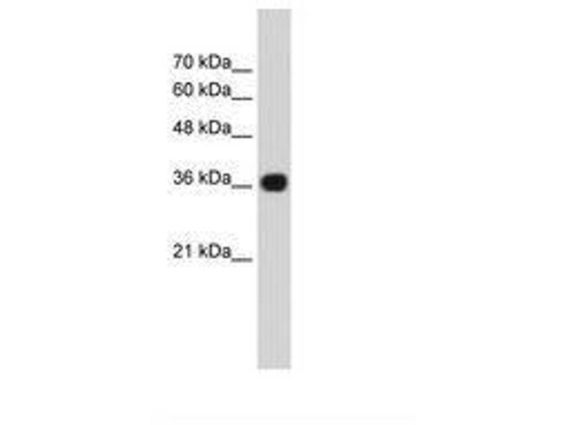 image for anti-Canopy 3 Homolog (Zebrafish) (CNPY3) (C-Term) antibody (ABIN216749)
