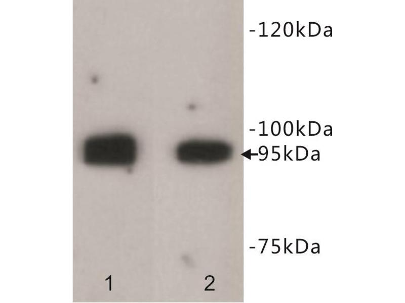Image no. 2 for anti-Leucine-Rich Repeat Containing G Protein-Coupled Receptor 5 (LGR5) antibody (ABIN1854936)
