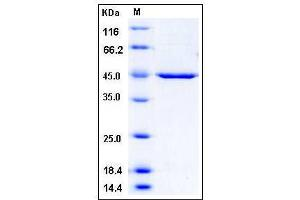 Image no. 1 for 3-phosphoinositide Dependent Protein Kinase-1 (PDPK1) (AA 29-436), (Mature) protein (His tag) (ABIN2005169)