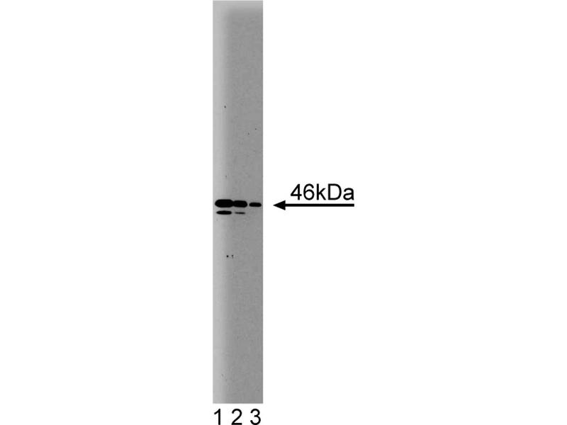 Western Blotting (WB) image for anti-NEK2 antibody (NIMA (Never in Mitosis Gene A)-Related Kinase 2) (AA 244-444) (ABIN968054)