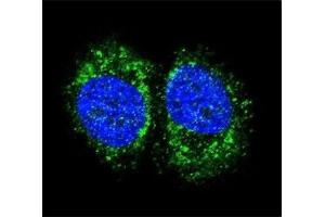 Image no. 1 for anti-Nuclear Factor-KB P65 (NFkBP65) (AA 10-37) antibody (ABIN3029810)