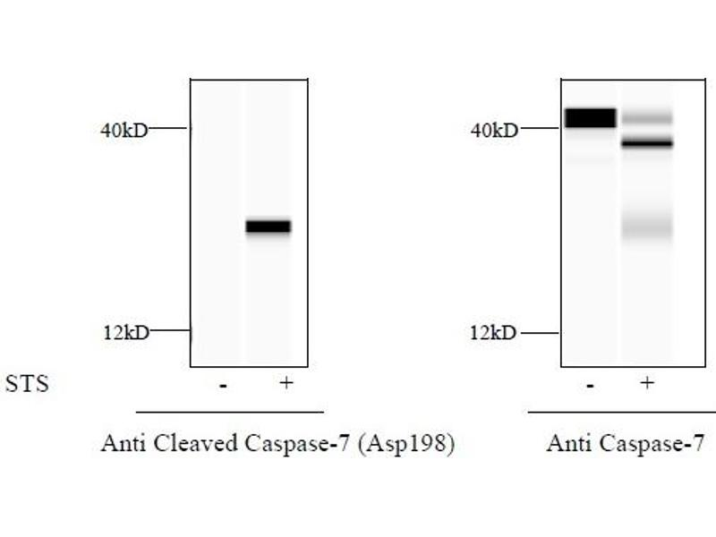 Caspase 7, Apoptosis-Related Cysteine Peptidase (CASP7) ELISA Kit (3)