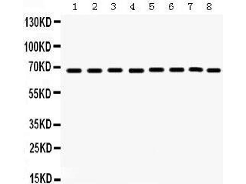 Western Blotting (WB) image for anti-PTPN11 Antikörper (Protein tyrosine Phosphatase, Non-Receptor Type 11) (AA 69-99) (ABIN3043912)